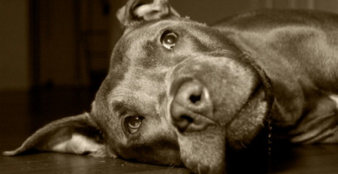 DANGER – Pit Bulls Are MONSTERS!